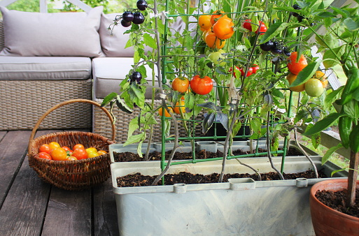 Tomatoes grown in containers on a furnished patio.