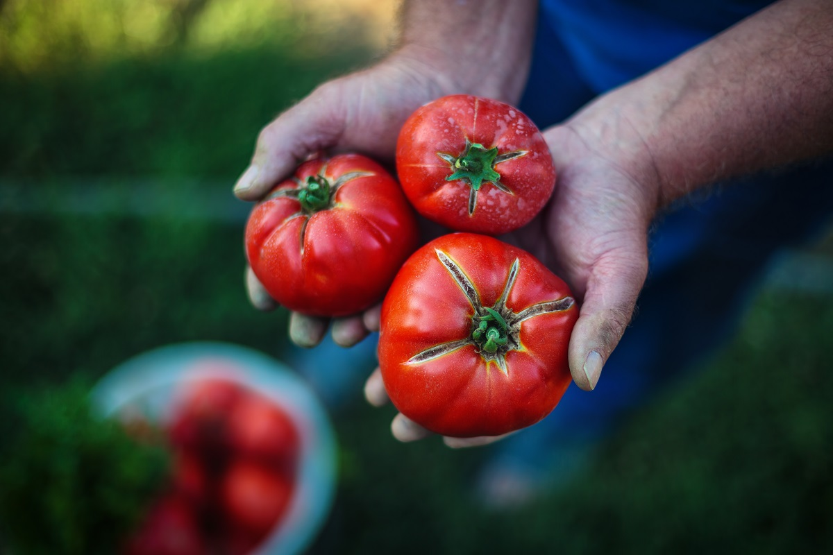 closeup of gardener's hands holding ripe red homegrown tomatoes