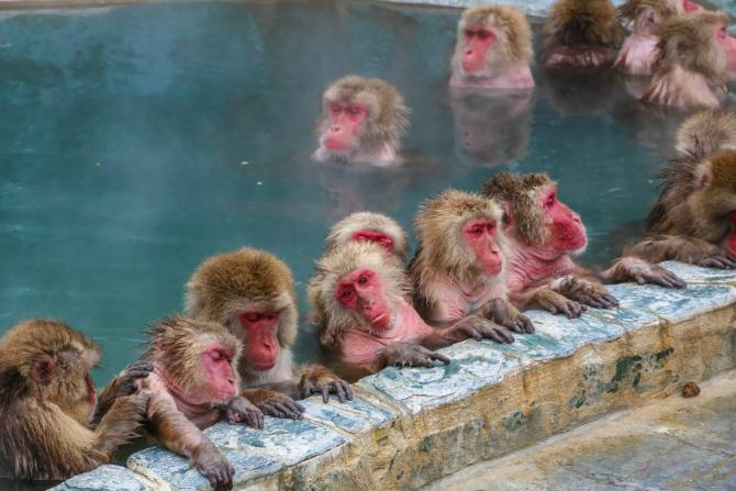 snow monkeys in a hot spring enjoying some self care