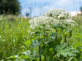 giant hogweed plant topped with white flowers in a field