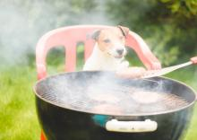 A Jack Russell Terrier sits on a lawn chair, watching hungrily as a man's hand turns burgers on a backyard grill.