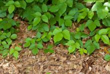 poison ivy covering the ground
